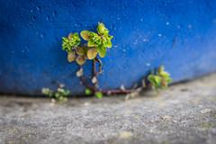Spring is coming ... (pesom) Tags: blue flower spring 500v20f pflanze blau blume