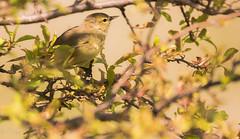 Orange-Crowned Warbler (Fotos by M) Tags: birds sigma missouri orangecrownedwarbler carondeletpark miguelacosta flickrsbest sigma150600mm fotosbymi siruip424s