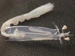 Mantis shrimp larvae (MyFWC Research) Tags: fish conservation research bahamas larvae genetics abaco marinelife bonefish fwc albulavulpes lighttrap leptocephalus myfwc myfwccom bonefishandtarpontrust
