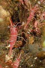 Hinge Back Shrimp (Simon Franicevic) Tags: bali tulamben melasti rhynchocinetessp shrimphingebeakshrimp