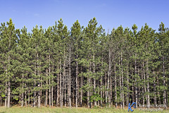 Northern Woods (Kenneth Keifer) Tags: blue trees sky green nature forest dark landscape michigan scenic evergreen pines edge tall trunks needles thick lumber conifers northwoods wooded benziecounty forested