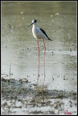 DSC_7788 (torben84) Tags: lake bird birds lago nikon rosa uccelli firenze tamron phoenicopterusroseus avifauna laje aereoporto fenicotteri phoenicopterus roseus fenicottero migrazione peretola 150600 d7200