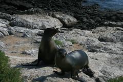 IMG_7645 (chupalo) Tags: sealions lavarocks islasplaza