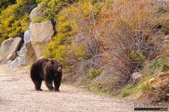 Grizzly Bear, Emerald Bay, Lake Tahoe (InSapphoWeTrust) Tags: california bear usa us unitedstates unitedstatesofamerica laketahoe northamerica emeraldbay southlaketahoe grizzlybear