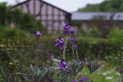 _DSC2073 (Osamu1965) Tags: flower japan zeiss garden spring sony contax jp   okayama     a7m2  carlzeissvariosonnart2870mmf3545mm