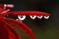 Drops (kelly lcc) Tags: morning red flower macro reflection water sunshine bravo taiwan drop petal kaohsiung