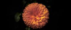 dp0q_160427_A (clavius_tma-1) Tags: orange flower circle tokyo sigma round nakano  quattro  dp0  shinnakano