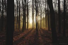 (CarolienCadoni..) Tags: trees light sunlight netherlands yellow forest sunrise landscape photography outdoor foggy earlymorning nederland drente sunbeams boomkroonpad drouwen sal2470z sonyslta99