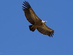 Buitre sobrevolando Monfrague (mgarsan) Tags: espaa nationalpark spain olympus em1 extremadura parquenacional gypsfulvus monfrague 40150mmf28