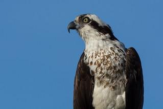 Osprey (female)