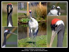 Red Crowned Cranes - Explore #411 21/04/2016 (JDPhotography -) Tags: birds collage cranes wwt grusjaponensis johndavies llwynhendy penclacwydd wwtwales jdphotography redcrownedcranes wwtllanelli picasa3 nationalwetlandscentrewales llanelliwwt copyrightjohndavies wwtnationalwetlandscentrewales tamronsp150600mmf563divcusd canoneos7dmark11
