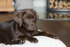 Lea, 16 weeks (michael_hamburg69) Tags: dog puppy labrador chocolate retriever hund lea braun welpe hndin 16wochen katrinmichael