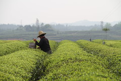 Tea Picker, near Changsha, Hunan,  China (cynTEAa) Tags: china green tea farm bushes hunan changsha teapicker teabushes