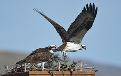Osprey Nest (Frank O Cone) Tags: birds wings raptor osprey nests