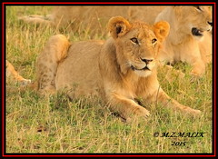 YOUNG SUB-ADULT MALE CUB (Panthera leo)  ......MASAI MARA......SEPT 2015 (M Z Malik) Tags: africa nikon leo kenya wildlife ngc safari kws lioncubs masaimara d3x flickrbigcats exoticafricancats exoticafricanwildlife 200400mm14afs