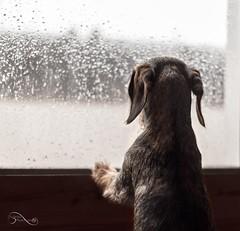 Quizs todos los das no sean buenos, pero siempre hay algo bueno todos los das! (ivannamontserrat) Tags: dog primavera luz photo lluvia nikon perro teckel mydog fotografa sausagedog nikonistas lovedog dagris