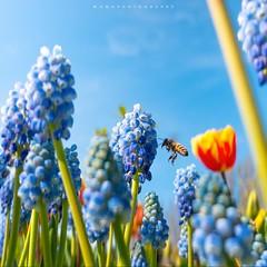 เป็นคนถ่ายภาพทุกแนวครับ คือชอบไปหมด นี่คือผึ้งกับดอกไม้ริมทางที่เนเธอร์แลนด์  ถ่ายด้วยกล้องคอมแพคง่ายๆ แต่ท่าถ่ายนี่ยากฝรั่งไม่เข้าใจว่าจะพยายามอะไรเบอร์นั้น~•  #แค่ชอบไม่พอขอคำว่ารัก #จุ๊ฟๆ