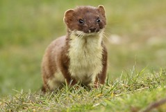 Stoat  ..............Just waiting (GrahamParryWildlife) Tags: new uk sunlight field animal sport photo kent flickr outdoor small hunting sigma running shy run add tiny 7d mk2 dungeness predator viewing depth hunt carnivore stoat mamal rspb mustela 150600 grahamparrywildlife