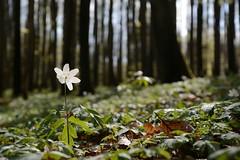 Buschwindrschen (Caora) Tags: balticsea april rgen ostsee ruegen buschwindrschen windflower