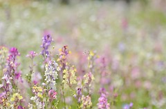pastel colors (snowshoe hare*) Tags: flowers field botanicalgarden babysbreath nemophila linaria poachedeggplant  dsc1032    limnanthesdouglasil