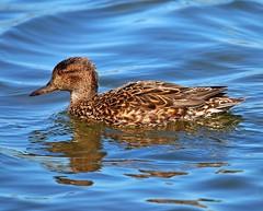 Teal (Lutra56) Tags: nature birds duck teal wildlife rutland rutlandwater anascrecca britishbirds canon70d sigma150600mmsport