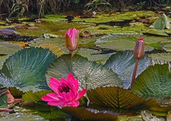 Pink waterlillies (Anni - with camera) Tags: waterlillies
