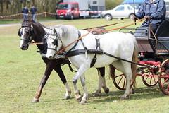 IMG_7820 (dreiwn) Tags: horse germany carriage kutsche pony german horseshow pferde pferd horsecarriage dressage pferdekutsche dressur heste dressyr pferdekopf dressuur ridingarena horsedriving pferdesport reitplatz reitverein fahrturnier dressurpferd dressurprfung gespannfahren