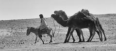 Sahara Caravane (adil.mmn2) Tags: bw sahara desert camel morocco maroc mhamid