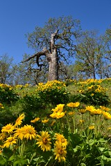 Oak Above by Jim (alpenglowtravelers) Tags: river columbia gorge balsamroot