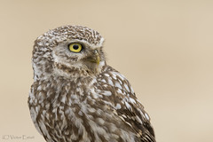_NAT0762 (VictorD7000) Tags: espaa birds birding aves alicante nocturnas birdwatching athenenoctua rapaces mochueloeuropeo nikond7200 sigma150600sport