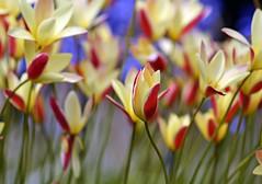 Spring 2016 - 868 LBG (Lostash) Tags: life flowers plants nature spring flora seasons leicesterbotanicalgardens