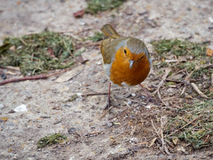 Robin Whiskers (dobs1973) Tags: bird robin