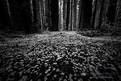 (Ryan C. McGinley) Tags: california trees northerncalifornia forest redwoods humboldtcounty eelriver avenueofthegiants southfork oldgrowthforest humboldtredwoodsstatepark alexandervonhumboldt sequoiasempervirens weott