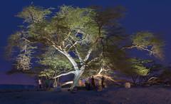 Tree of Life, Bahrain (Geoff Fleming1968) Tags: life tree bahrain treeoflife mikegarner