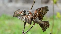 DSC_6560 (sylvettet) Tags: nature birds action sparrow oiseaux 2016 moineaux nikond5100