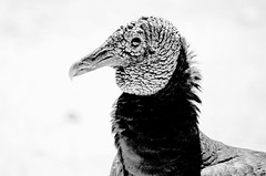 All Ruffled Up DSL7442 (iloleo) Tags: bw bird texture contrast vulture blackvulture hss