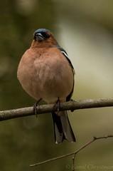 Finch (Kamil C.) Tags: bird finch da3004 k5ii
