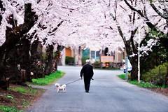 114/366 : Under the cherry blossoms (hidesax) Tags: street trees dog white japan cherry nikon blossoms oldman aomori hachinohe sakura nikkor 70200mm f28g 14366 underthecherryblossoms 366project 365porject hidesax d800e 366project2016 kanafukizawa