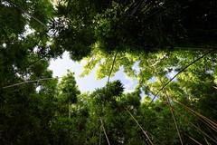 DSC00709_DxO_Grennderung (Jan Dunzweiler) Tags: hawaii jan maui bamboo hanahighway pipiwaitrail oheo bambus oheogulch bambooforest haleakalanationalpark hanahwy hwy360 bambuswald highway360 pipiwai haleakanationalpark dunzweiler haleakanp oheogulch oheo jandunzweiler
