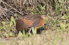 King Rail (rosemaryharrisnaturephotography) Tags: canon king rail marshes kingrail rosemaryharris freshwatermarshes