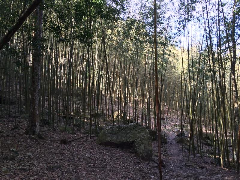 八仙山森林遊樂區-竹林