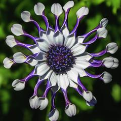 Summer star (wendyjudith65) Tags: summer white flower nature garden colours purple africandaisy brightcolours masterphotographer infiniteexposure