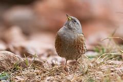 Accenteur alpin (Tifaeris) Tags: bird oiseau alpineaccentor prunellacollaris prunellidés accenteuralpin passériformes