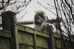 Eating Christmas Dinner (eve.jones39) Tags: christmas winter white tree green nature animal fence fur outside grey moss squirel