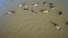 aerial flying over geese on the pond (DigiDreamGrafix.com) Tags: wild lake water birds animals swim flying geese pond over aerial goose scatter