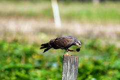 SNAIL KITE (FEMALE) (concep1941) Tags: nature birds outdoor evergladesnationalpark lakeokeechobee applesnails evergladekite loxahatcheewetlands freshwatermarshes hawkandeaglefamily