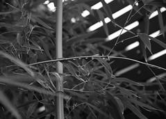 BAMBOO B/W (jpi-linfatiko) Tags: blackandwhite bw naturaleza blancoynegro nature rain garden blackwhite drops lluvia nikon natural jardin bamboo bn gotas vegetation bambu blanconegro vegetacion d5200