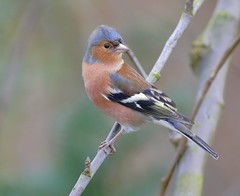 _F7R0517 Chaffinch (Fringilla coelebs) ♂ (Lathers) Tags: garden warwickshire fringillacoelebs chaffinch nuneaton ♂ canonef500f4lisusm canoneos1dx 25january2016