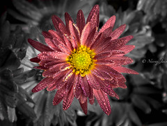 Flower Power (njain73) Tags: morning november flowers red flower colour water yellow closeup petals focus naturallight fresh dew bloom chrysanthemum freshness 24105