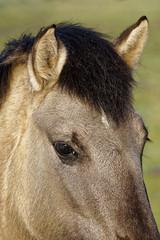 Konik-Pferde - 2016-005_Web (berni.radke) Tags: horse pferd konik konikhorses olfen steverauen konikpferde